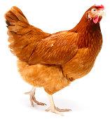 istock Hen 831791228