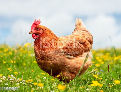 A side view of a free-range hen, standing in a meadow of grass, clover and buttercups in Scotland.