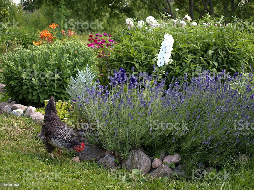 hen walking in the flower garden stock photo