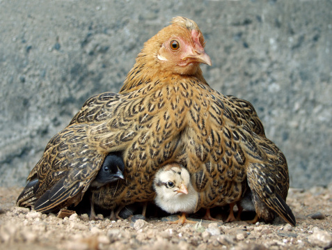 Hen with chicks.