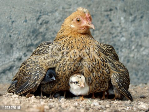 istock Hen with chicks 157397916