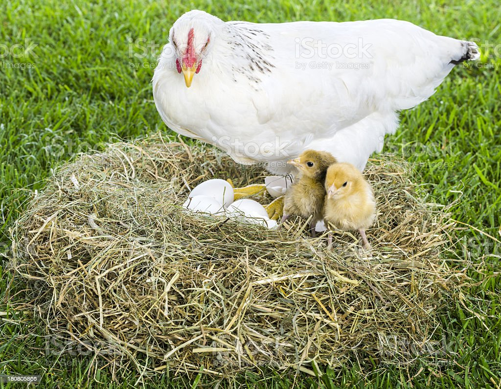 Hen with eggs and chicks stock photo