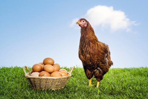 Brown hen with basket full of eggs