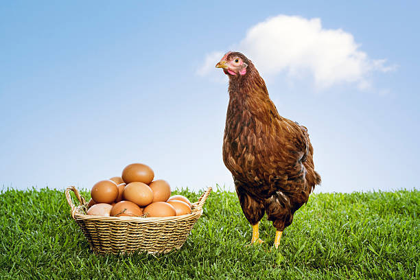 hen with organic brown eggs piled in a wicker basket - aluxum stock pictures, royalty-free photos & images