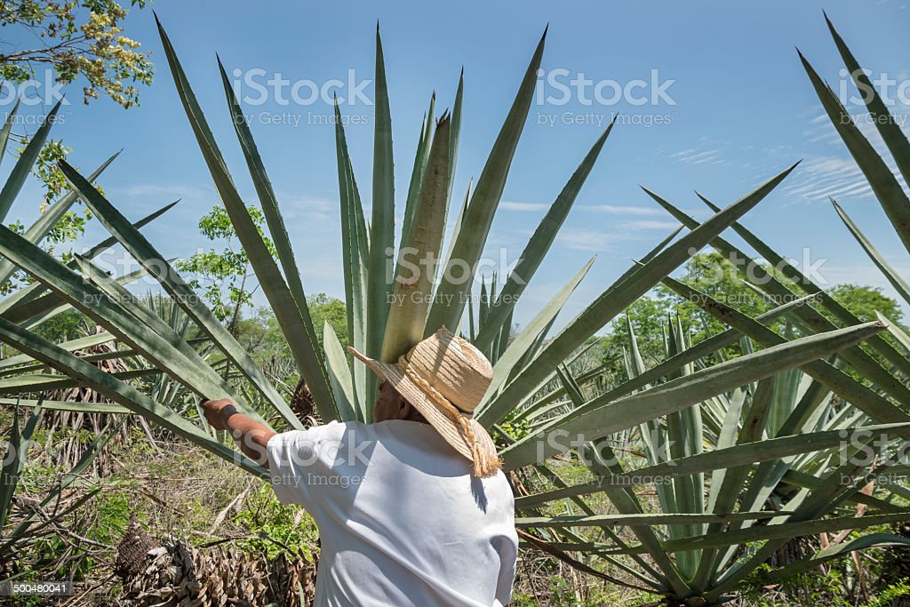 Henequen Cactus Farmer stock photo