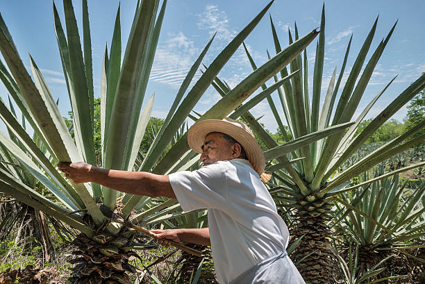 henequen cactus farmer - sisal stock pictures, royalty-free photos & images