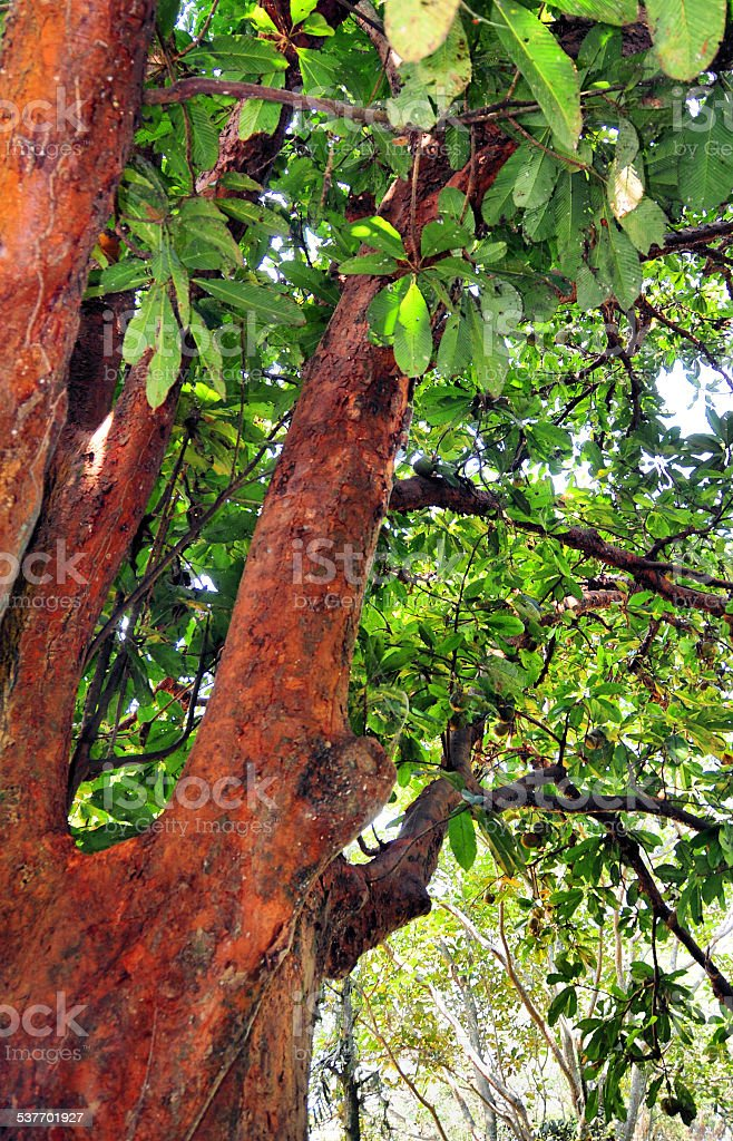 Henna Tree Stock Photo More Pictures Of 2015 Istock