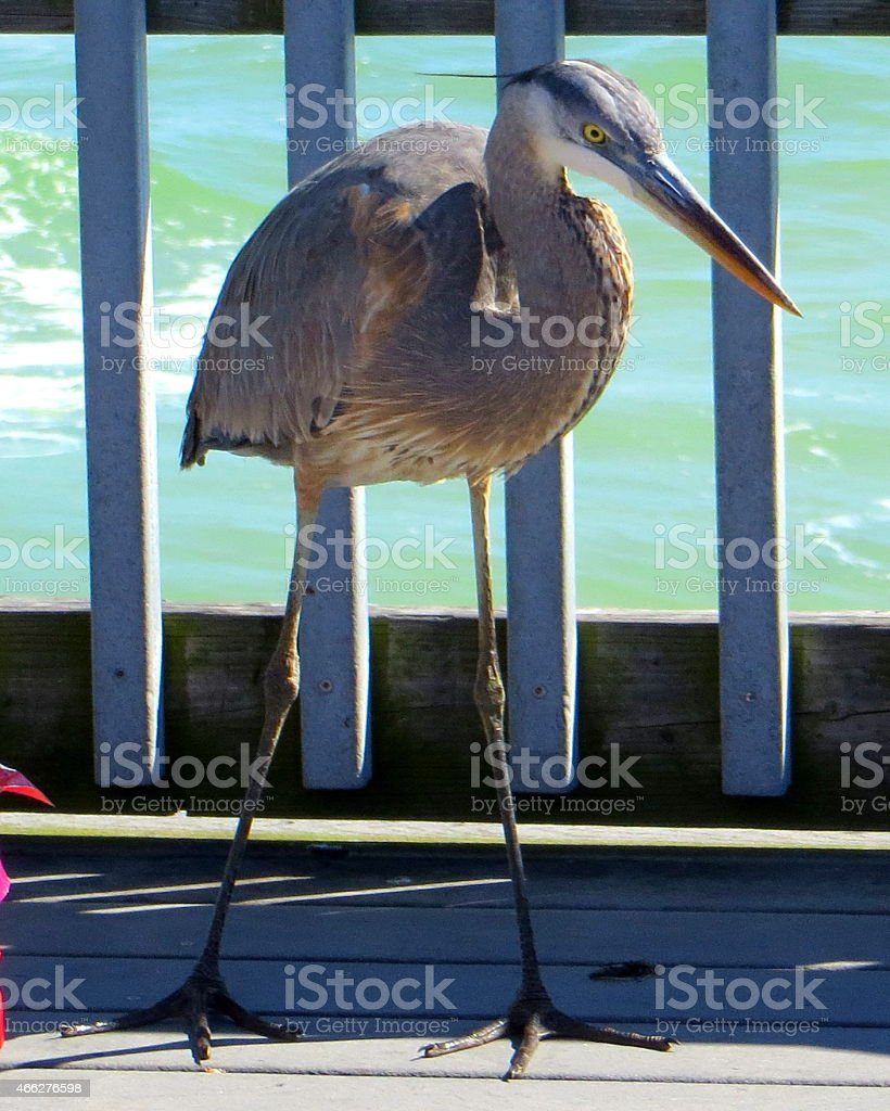 Henry the Great Blue Heron stock photo