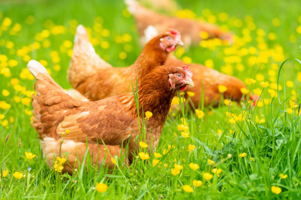 Hens among grass and buttercups stock photo