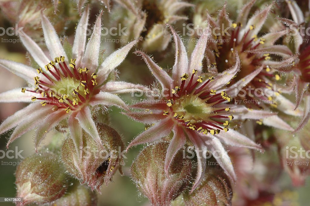 hens and chicks flower, Sempervivum sp. royalty-free stock photo