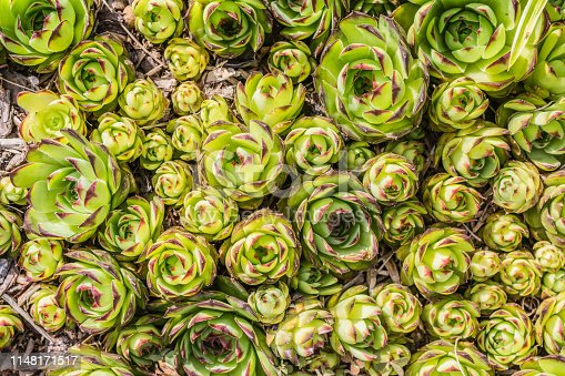 A background close up of garden sedum also known as hens and chicks.
