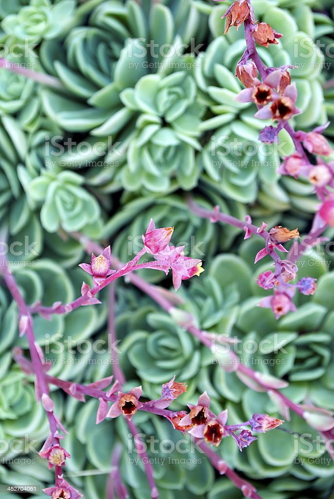 'Hens and Chicks' Succulent in Flower royalty-free stock photo