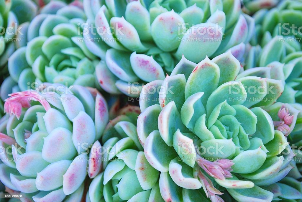 'Hens and Chicks' Succulent in soft focus stock photo