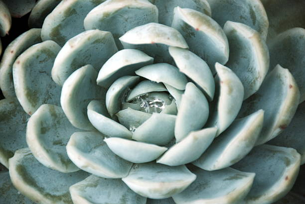 'hens and chicks' succulent in soft focus - foliate pattern stock photos and pictures