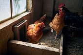 Group of hens with free range inside small organic farm.