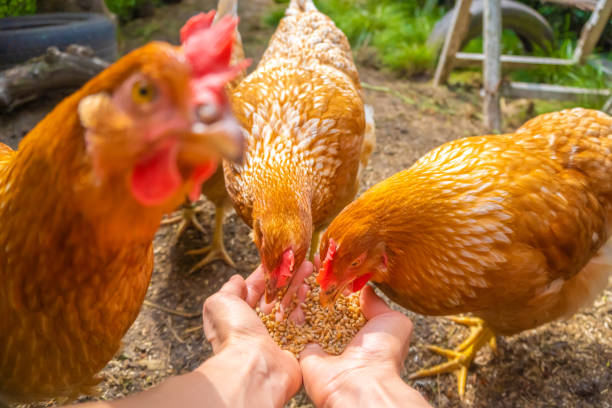 Hens eating from hands, POV image - feeding domestic chickens