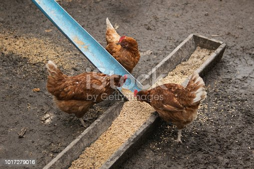 Hens in a farm eating food