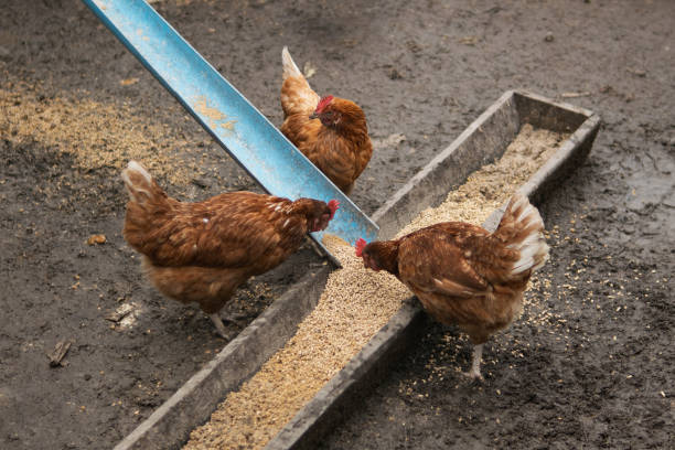Hens in a farm eating food stock photo