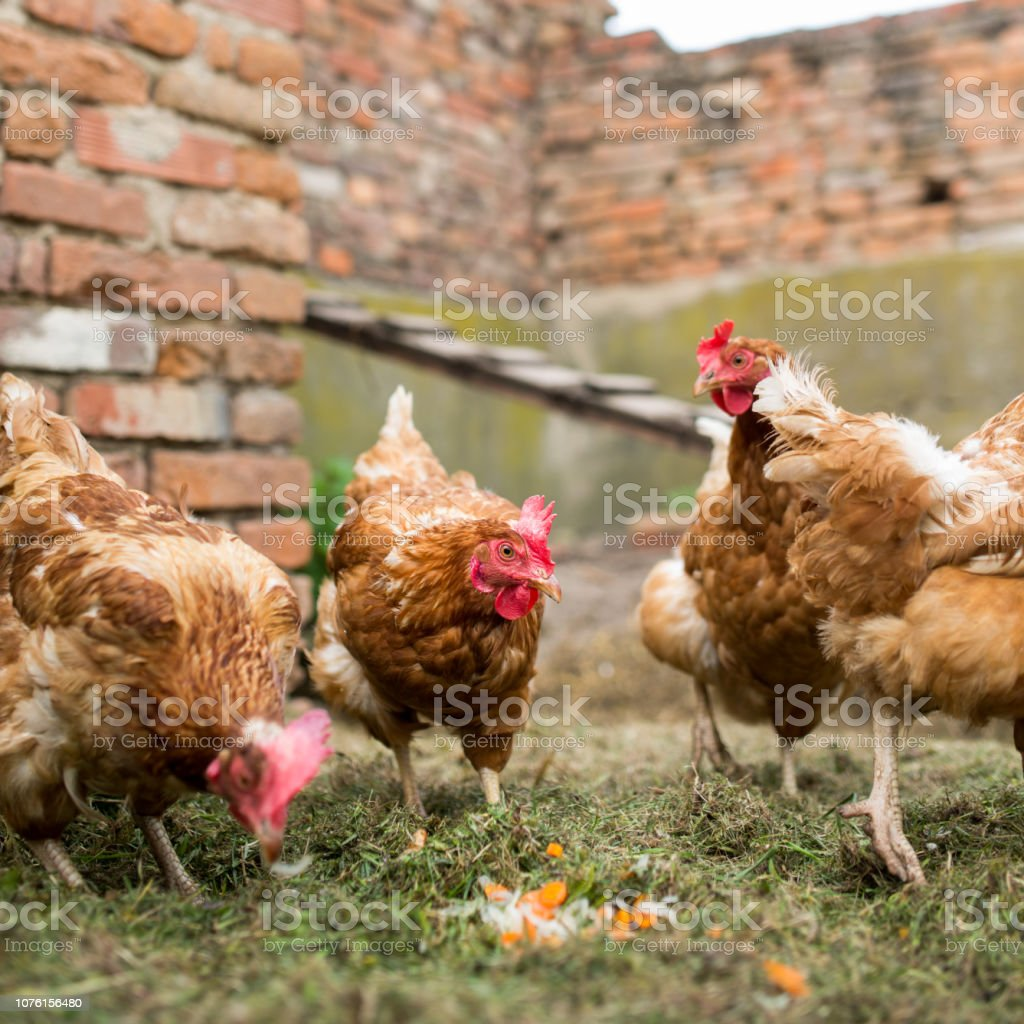 Hens in a farmyard stock photo