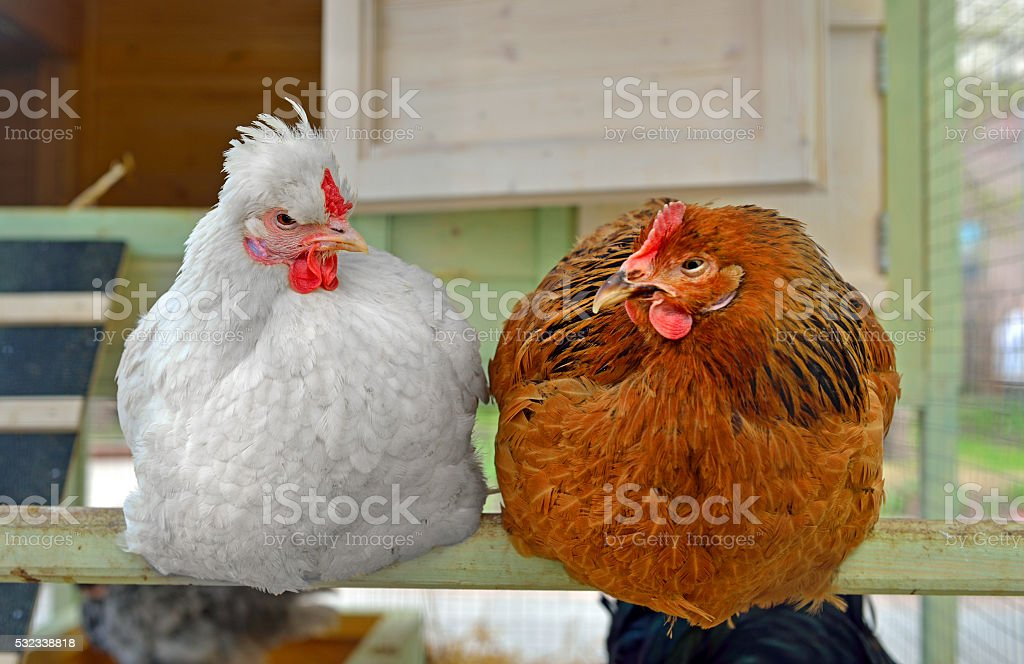 Hens in hen house sitting on perch stock photo
