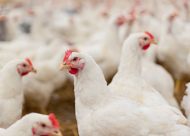kur w henhouse - kurczak zdjęcia i obrazy z banku zdjęć