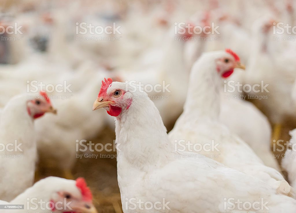 Hens in the henhouse stock photo