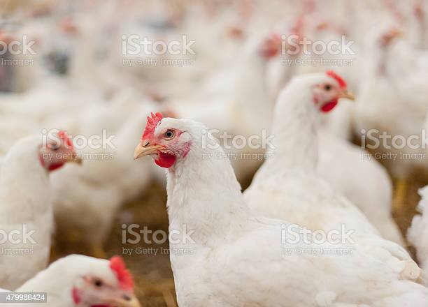 Photo of Hens in the henhouse