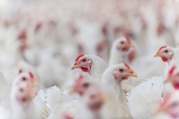 hens in the henhouse - omurgalı stok fotoğraflar ve resimler
