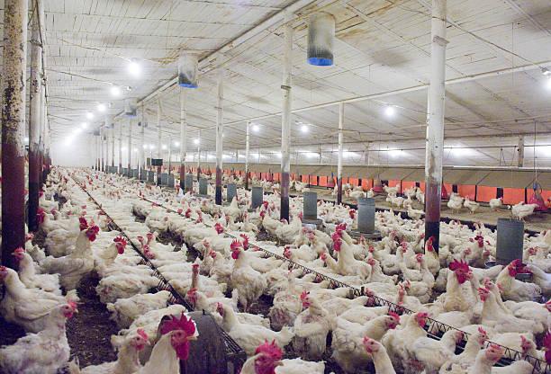 hens au henhouse - poulet viande blanche photos et images de collection