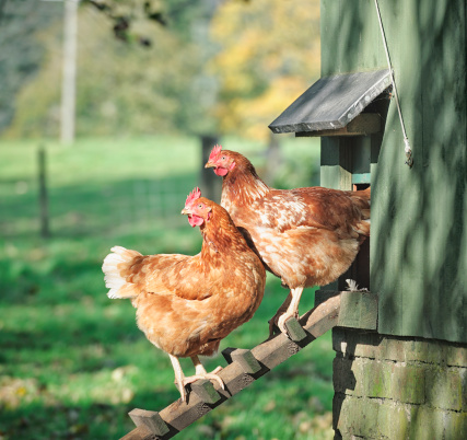Two hens standing on a wooden ladder outside their henhouse.