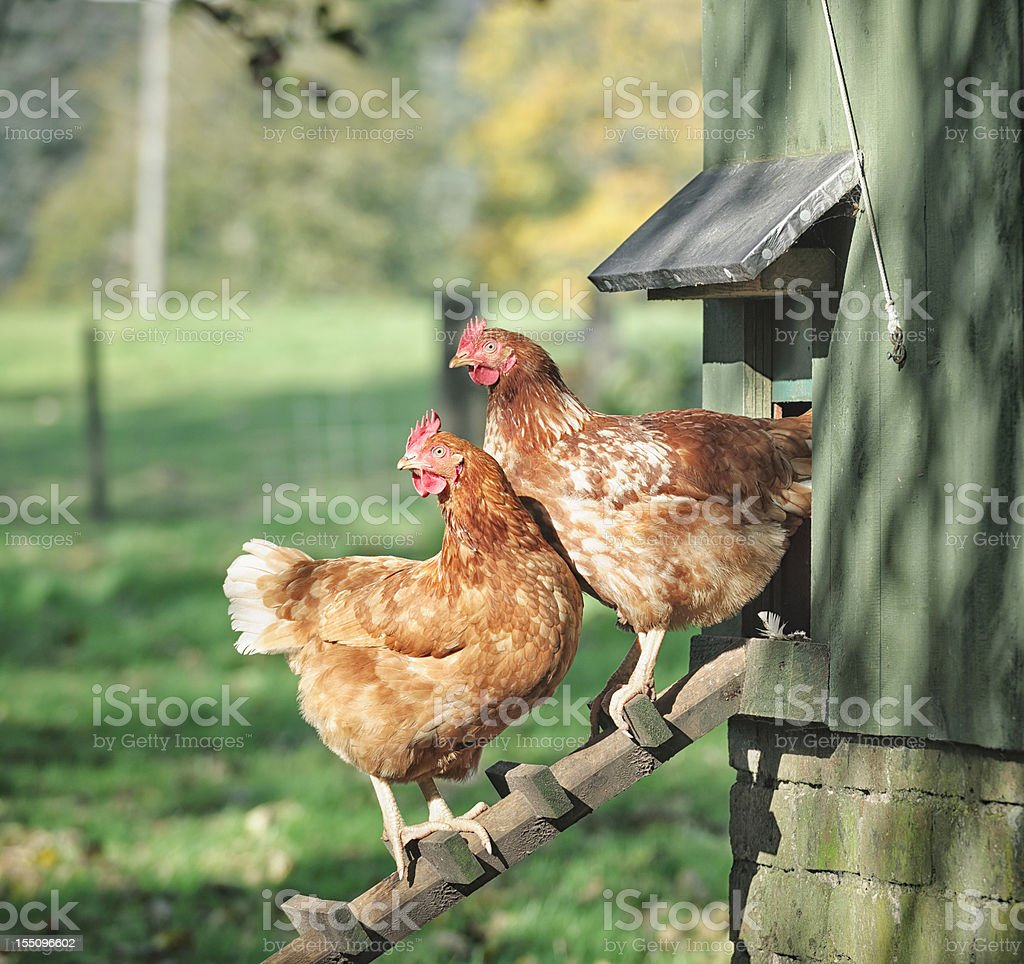 Hens on a Henhouse Ladder stock photo