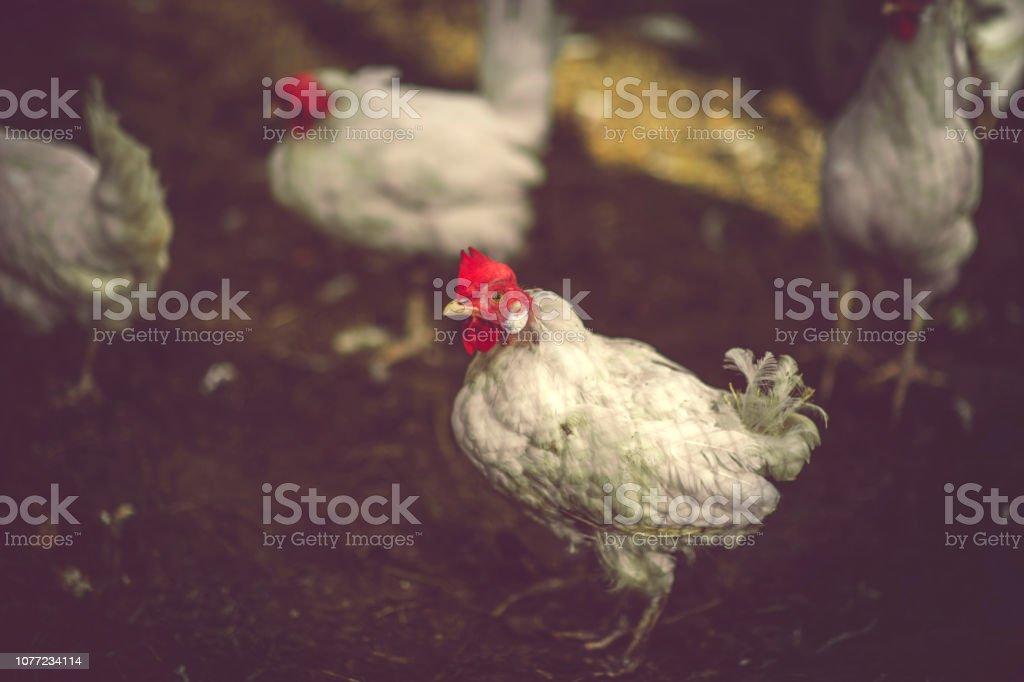 Hens on farm stock photo