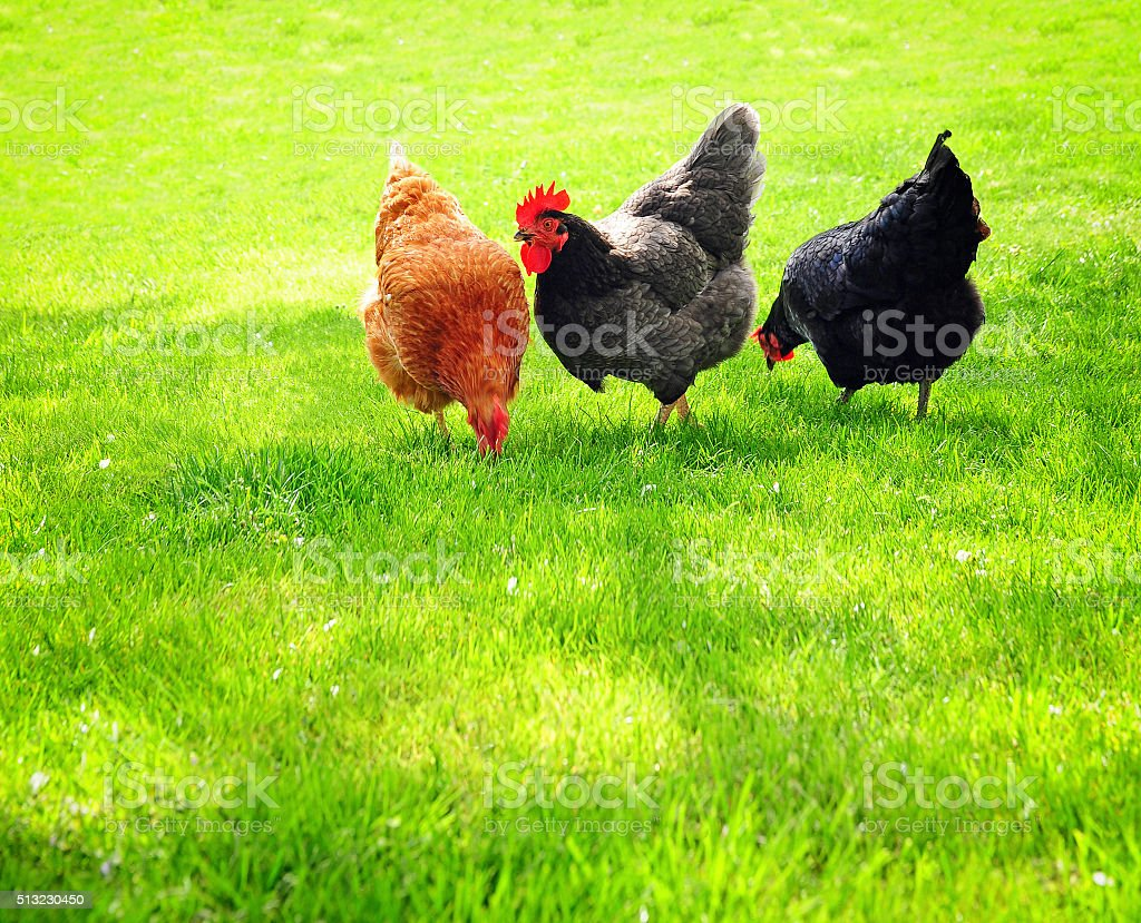 hens on  meadow stock photo