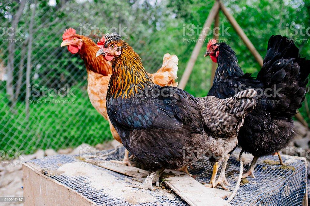 hens stock photo