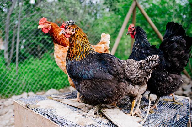 hens - foto de stock