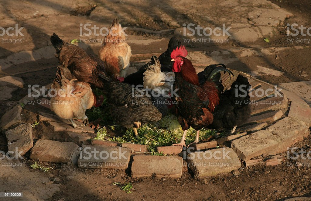 Gallinas royalty-free stock photo