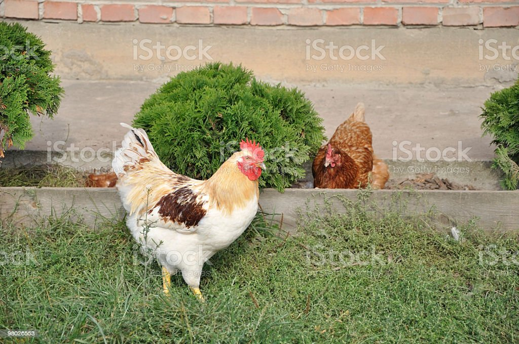 Hens royalty-free stock photo