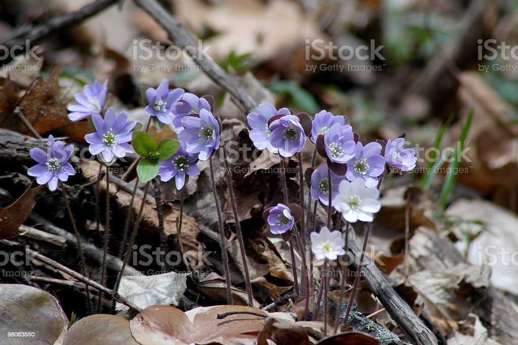 Hepatica acutiloba royalty-free stock photo