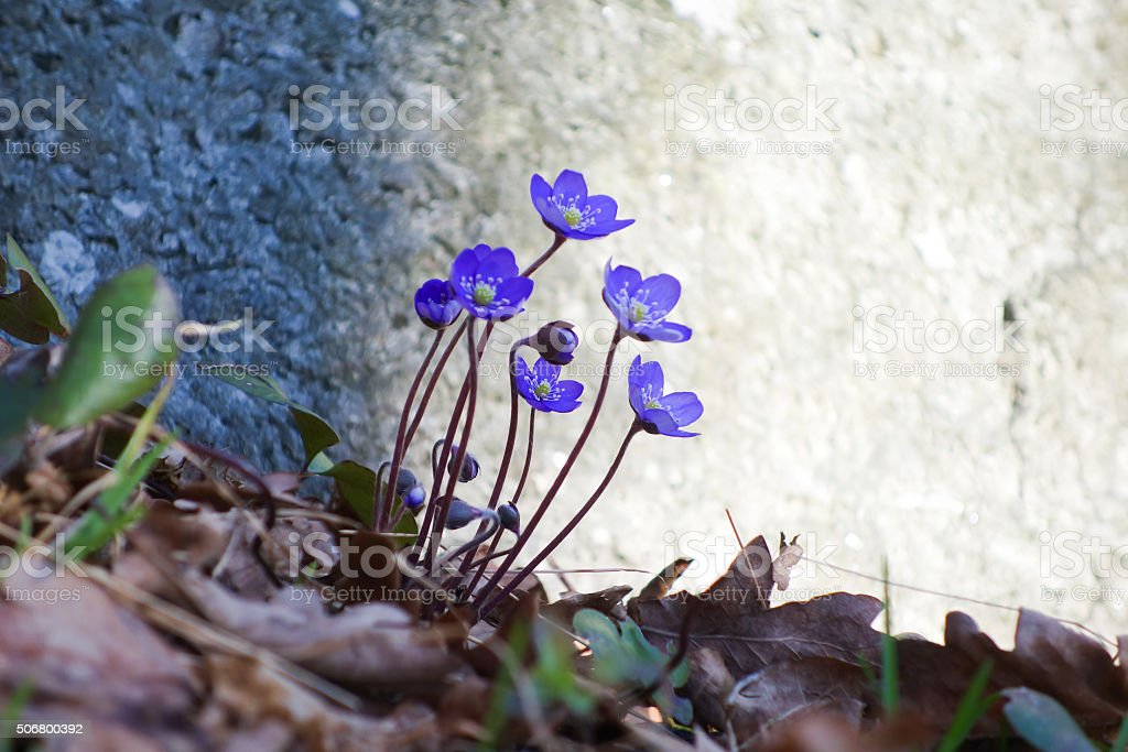 Hepatica during Spring Time stock photo