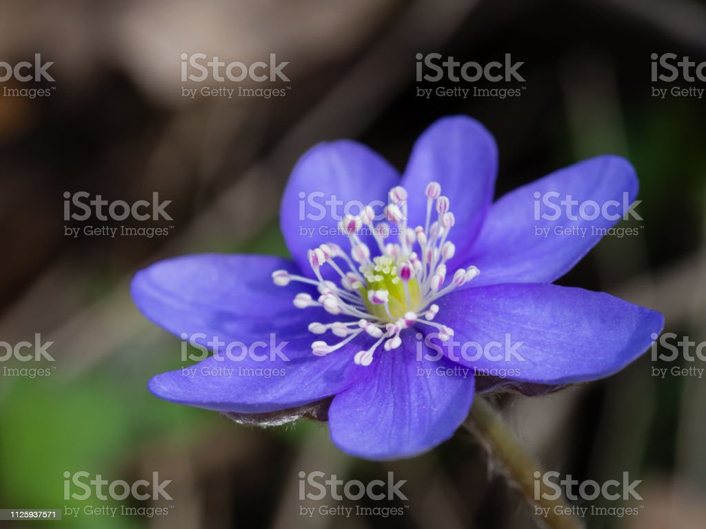 Hepatica flower blooming in the spring forest stock photo
