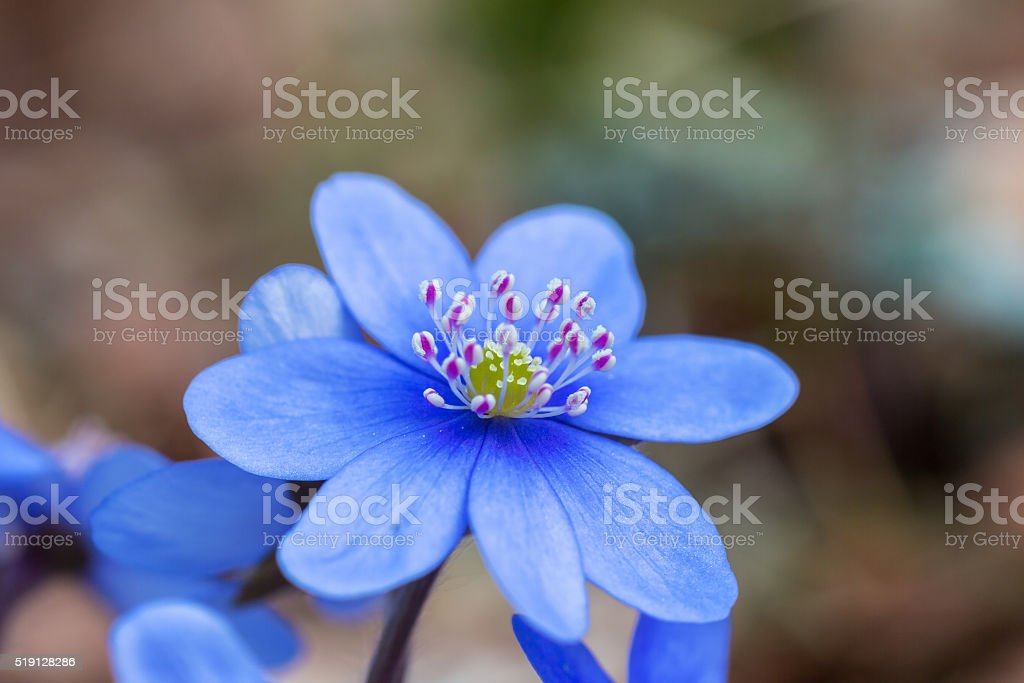 Hepatica flower in early spring stock photo