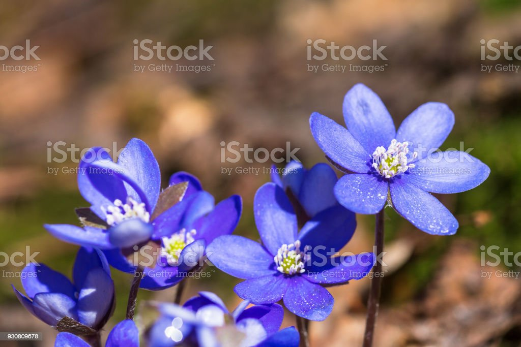 Hepatica flowers in early spring stock photo