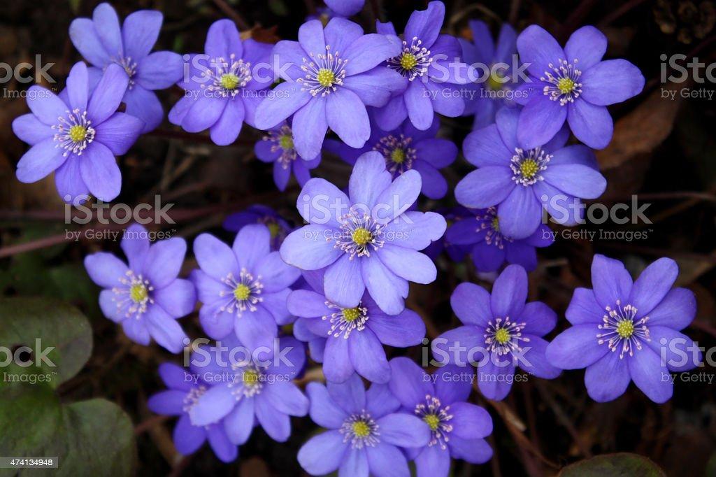 Hepatica flowers stock photo