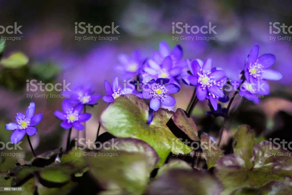 Hepatica in the forest stock photo