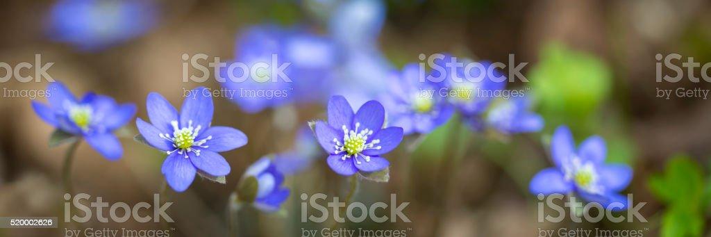 Hepatica - Liverwort stock photo