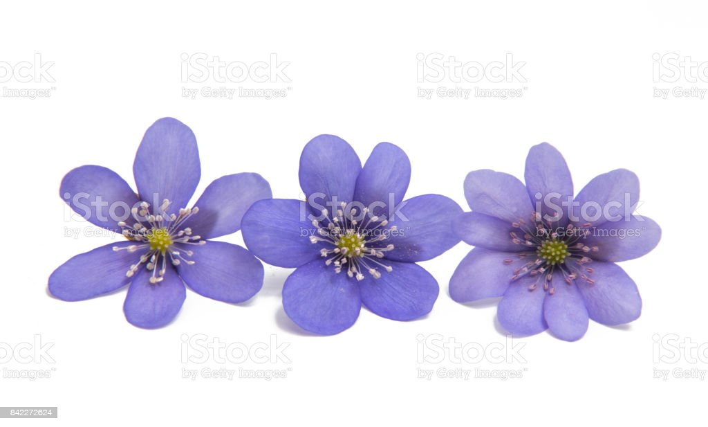 Hepatica Nobilis - first Spring flower stock photo