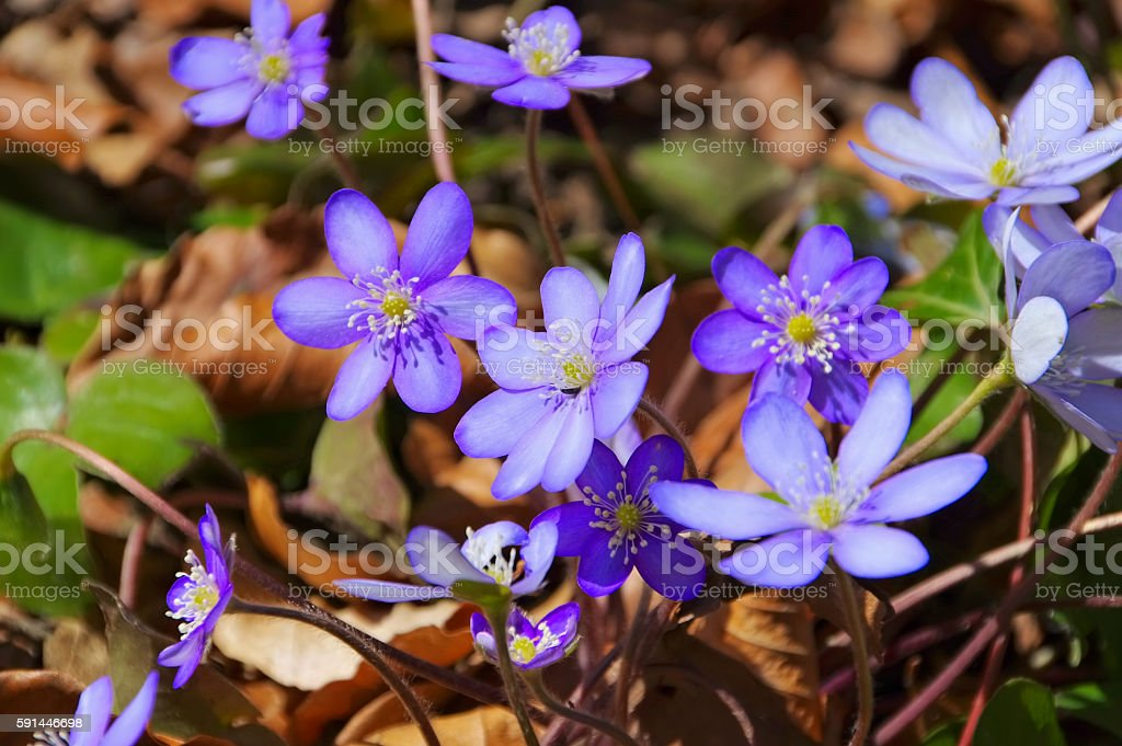 Hepatica nobilis flower in spring stock photo