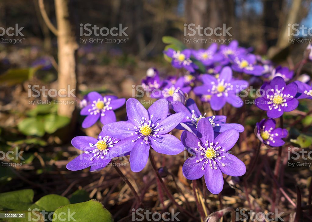 Hepatica Nobilis Liverleaf -Spring flower macro, Blaveis Norway stock photo