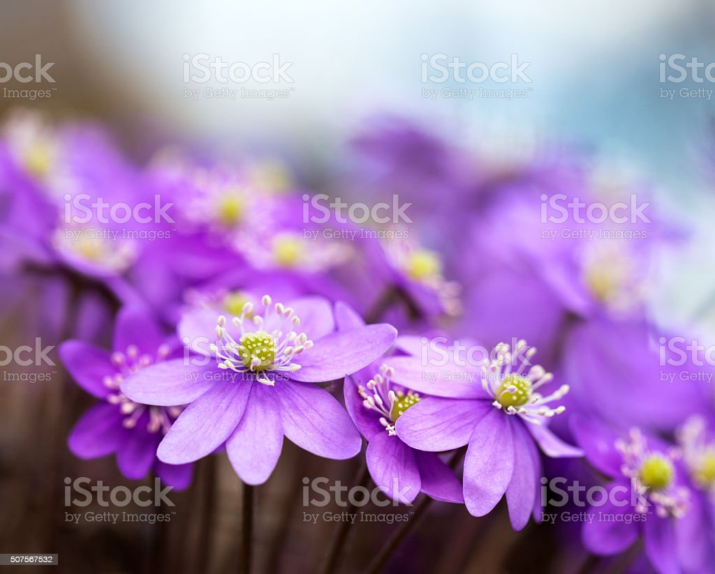 Hepatica Nobilis Liverleaf -Spring flower macro, Blåveis Norway stock photo
