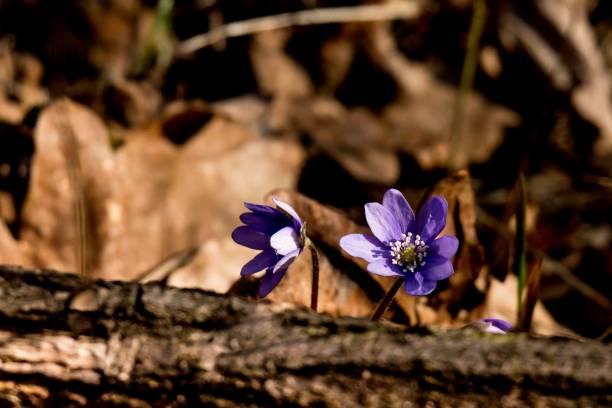 Przylaszczka zwyczajna (Hepatica nobilis) – zdjęcie